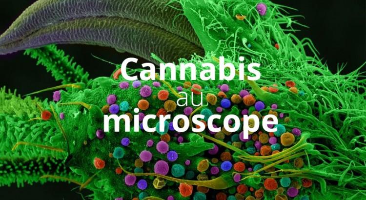 Le cannabis au microscope
