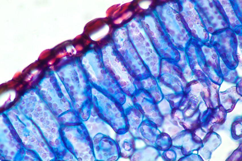Vue en coupe d'une feuille de romarin, qui a la même structure cellulaire que le cannabis. 0,5mm de large