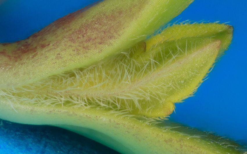 Jeune pousse de 5 jours. On notera la concentration de trichome qui empêche les insectes parasites de manger les nouvelles feuilles.