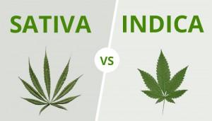 Différences entre cannabis sativa et indica