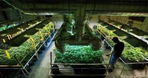 Cours de culture de cannabis au Canada