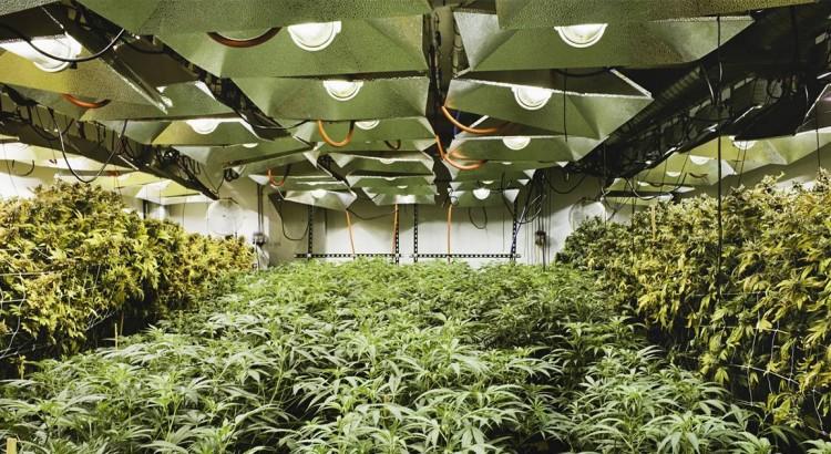 Une ferme de cannabis à Denver