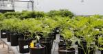 A quoi ressemble une plantation de marijuana ?