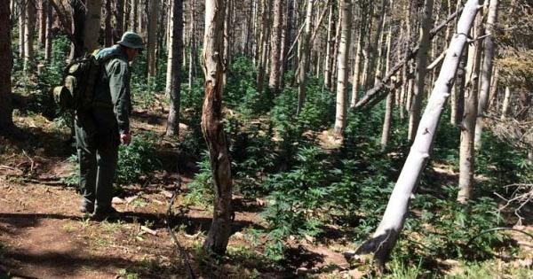 Plantation de marijuana illégale