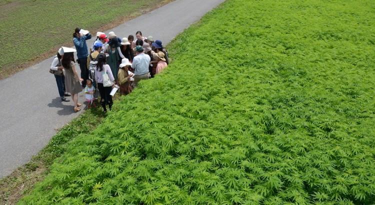Champ de cannabis au Japon