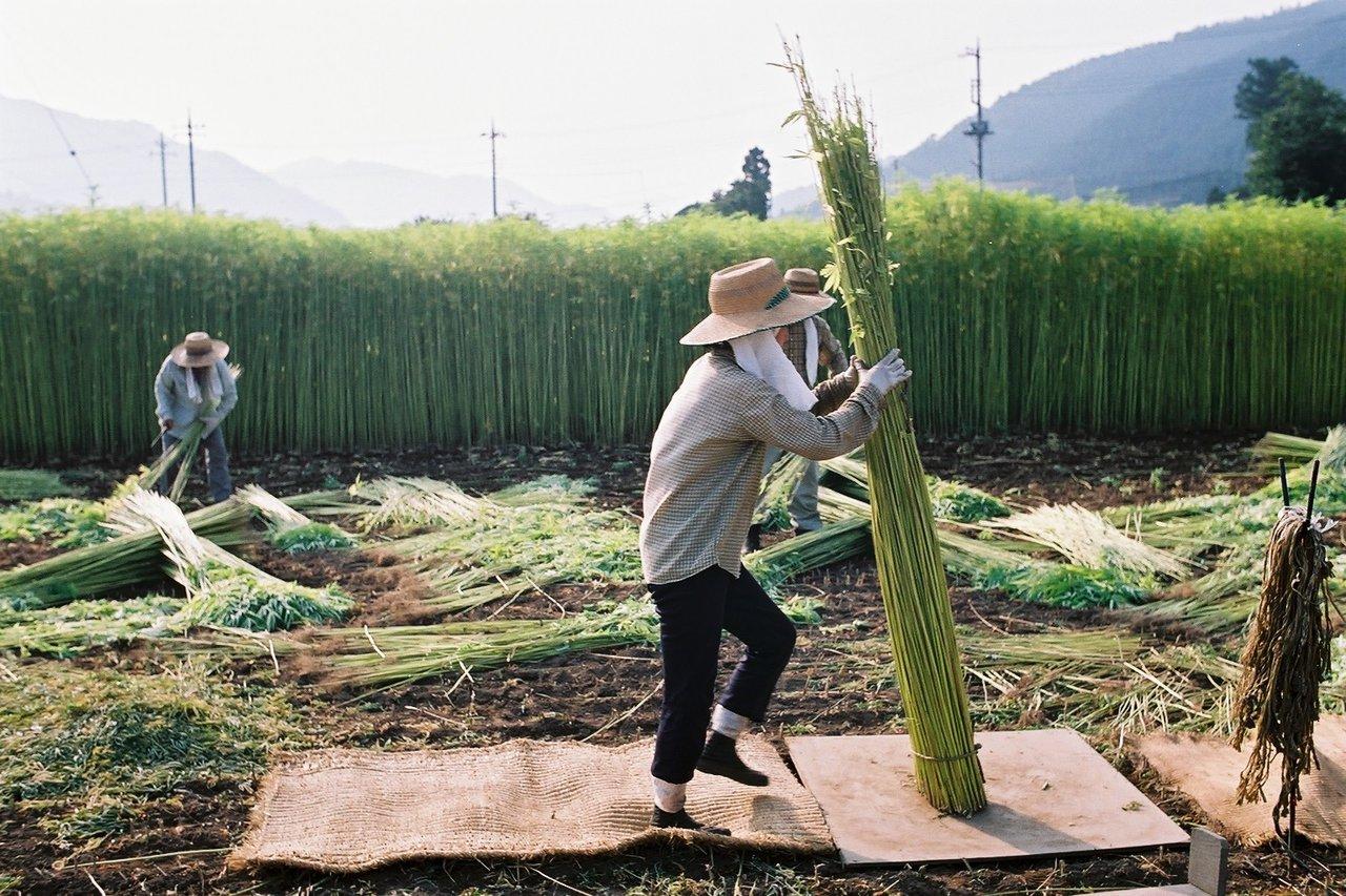Ferme de cannabis industriel au Japon