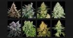 Quelle est la meilleure weed du monde ?