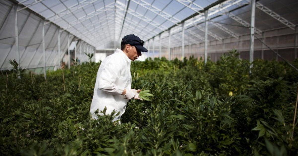 Agence du cannabis en Allemagne