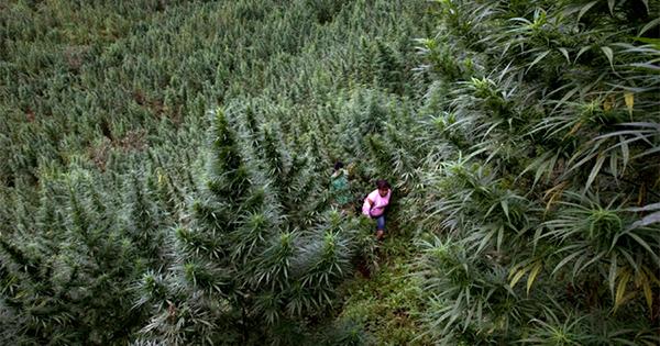 Légalisation du cannabis en Colombie
