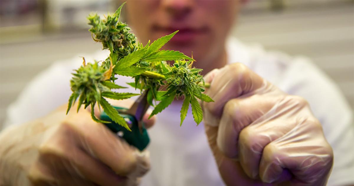 Récolte de cannabis en Californie