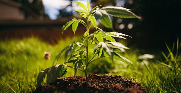Quel cannabinoïde est responsable des saveurs douces et terreuses des variétés indica ?