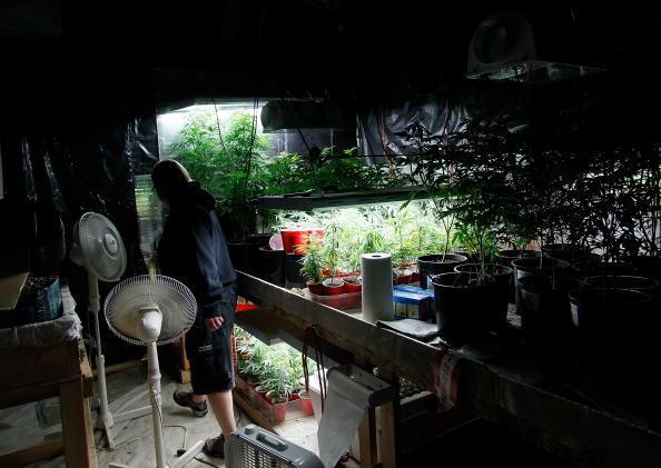 Fermier de cannabis