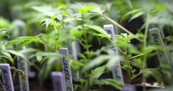 Légalisation du cannabis médical aux Etats-Unis