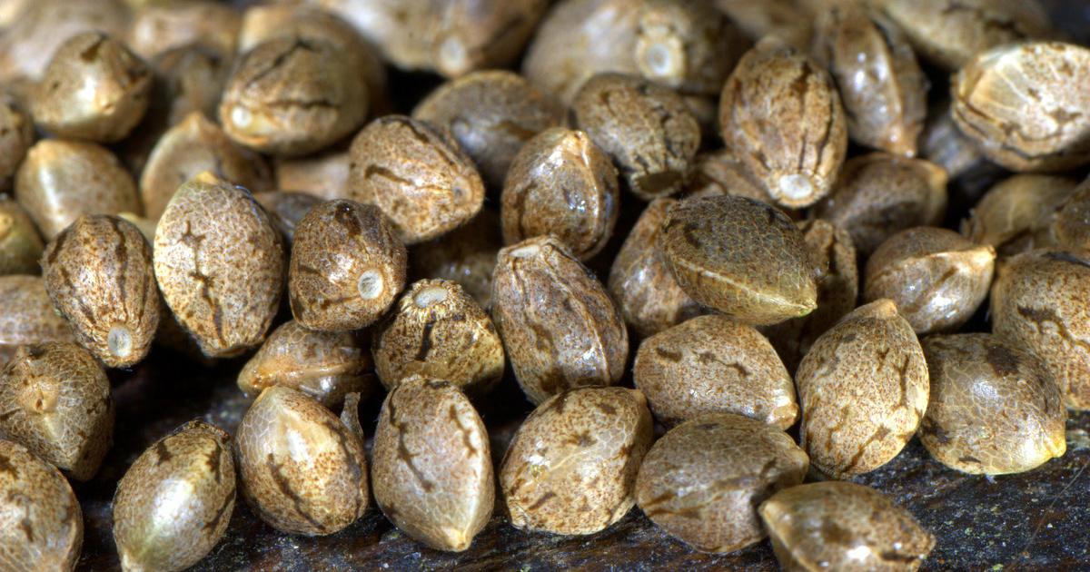 Graines de cannabis auto-florissantes