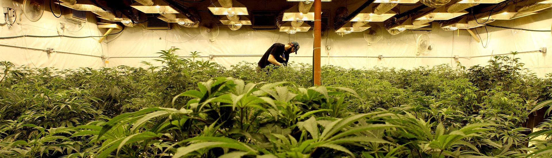 L'industrie du cannabis en 2016