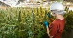 L'Italie dépénalise partiellement la culture de cannabis médical