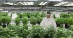 Les patients canadiens pourront faire pousser leur cannabis