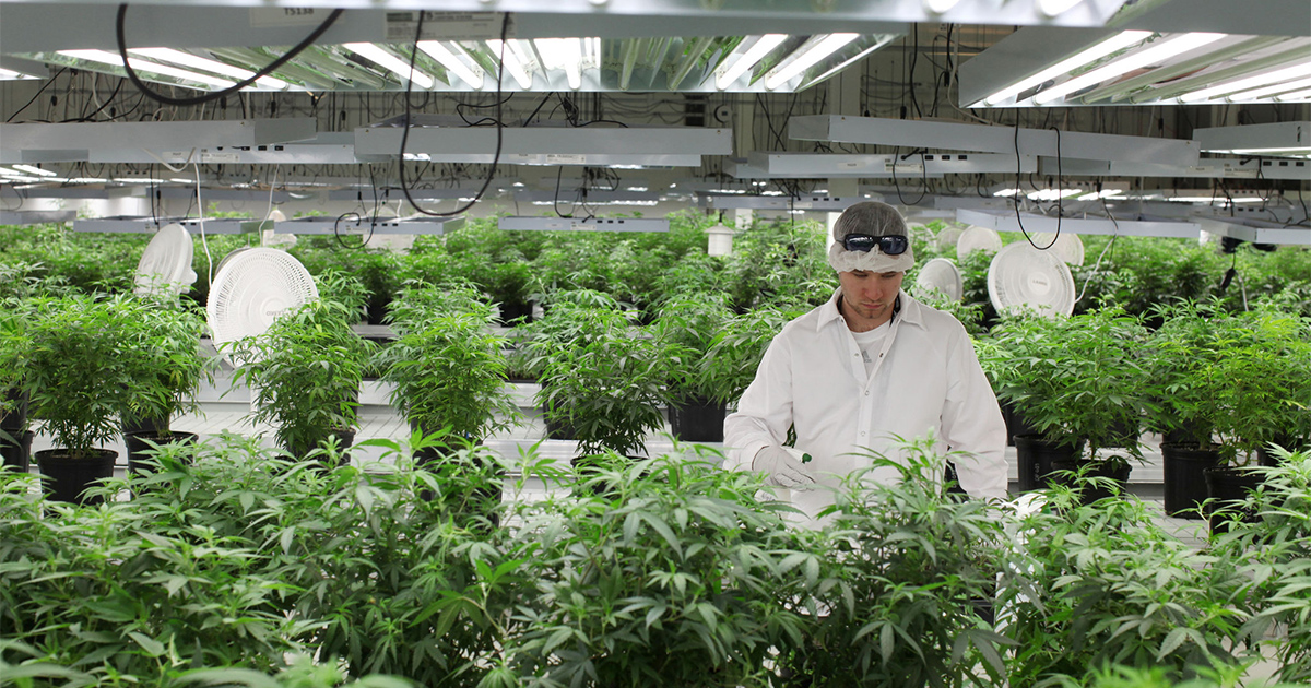 Culture de cannabis au Canada