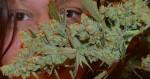 Pourquoi tout le monde réagit différemment au cannabis ?