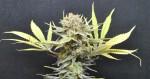 5 variétés de cannabis pleines de CBD
