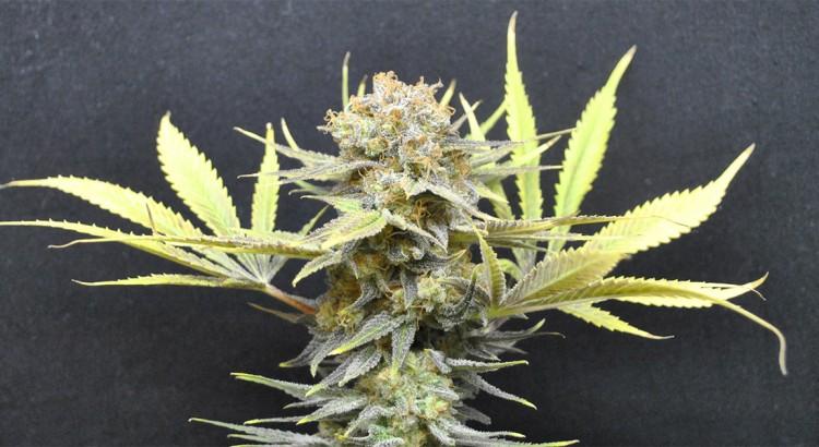 Variétés de cannabis CBD