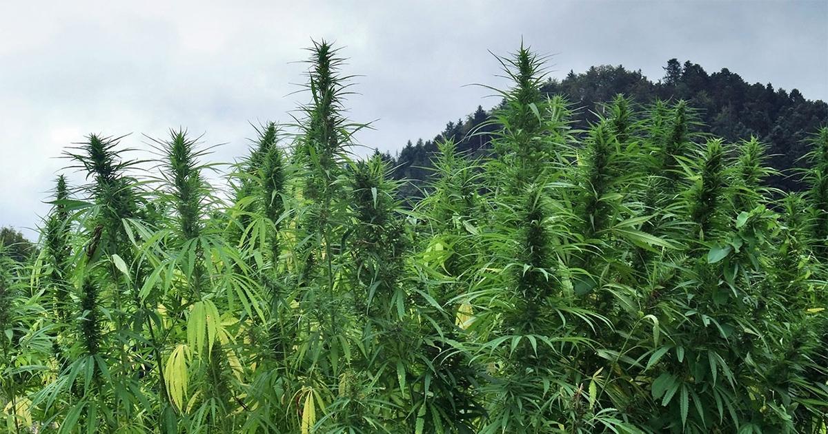 Weed en Jamaïque