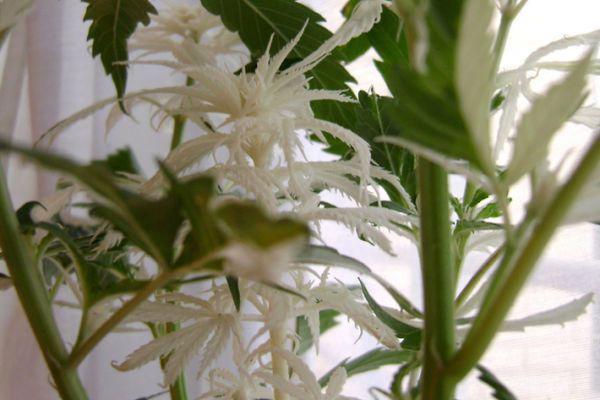 Cannabis blanc
