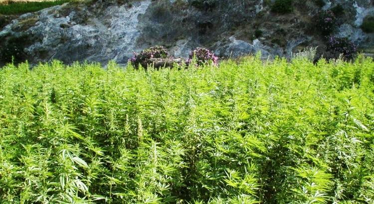 Cannabis du Maroc