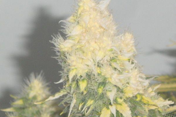 Cannabis avec trop de lumière
