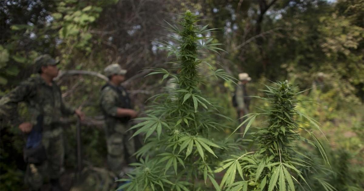 Les cartels mexicains diminuent leurs exportations de cannabis