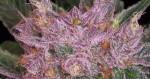 Qu'est-ce qu'une variété de cannabis ?