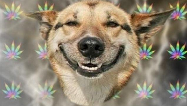 Cannabis animal de compagnie