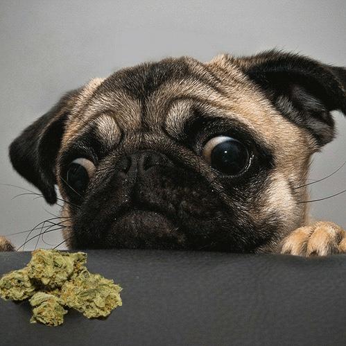 Animaux de compagnie et cannabis