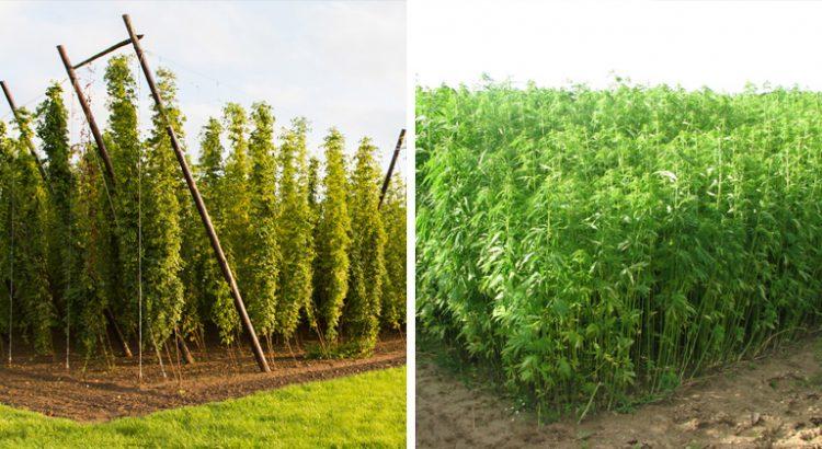 Différences entre le houblon et le chanvre