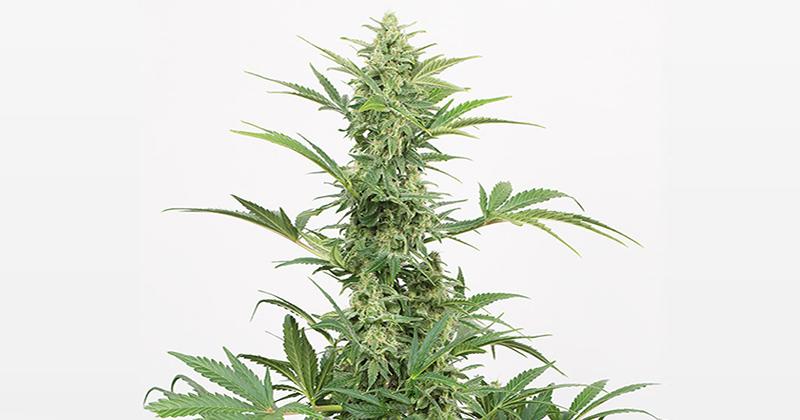 Variétés de cannabis riches en CBD