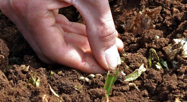 Chanvre utilisé pour dépolluer le sol