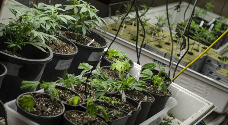 Légalisation du cannabis médical aux Philippines