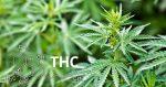 Qu'est-ce que le THC ?