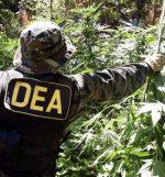 La DEA facilite la recherche sur le cannabis