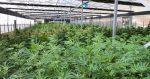 Israël : exportation de cannabis et étude sur l'autisme