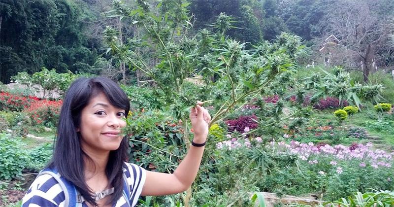 Réduction des peines sur le cannabis en Thaïlande