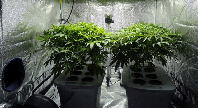 Autoculture de cannabis aux Pays-Bas