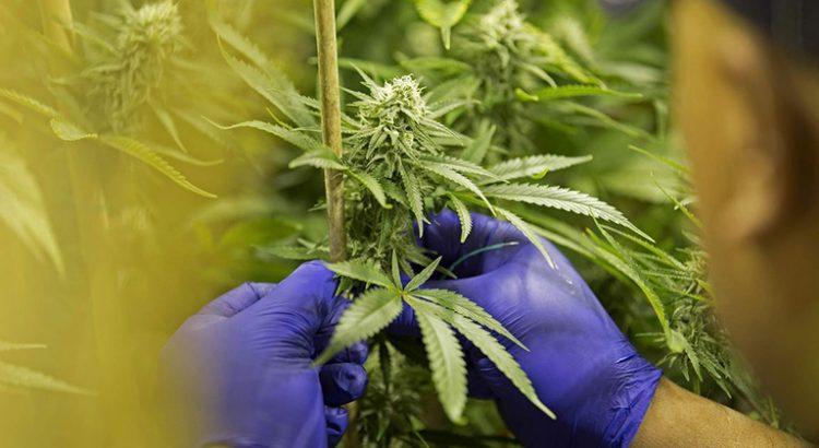 Croissance du marché du cannabis aux Etats-Unis