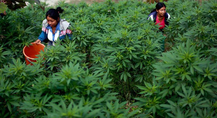 Culture de cannabis en Colombie