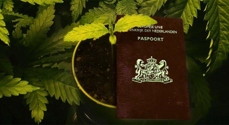 Culture de cannabis au Pays-Bas