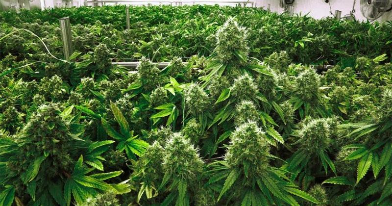 Consommation de cannabis aux Etats-Unis