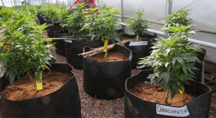 Huile de cannabis au Canada