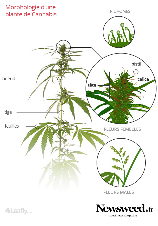 Anatomie du cannabis les parties de la plante newsweed for Planter du cannabis en interieur