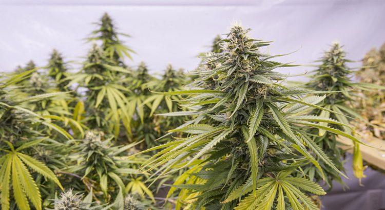 Anatomie du cannabis les parties de la plante newsweed for Ou planter du cannabis en exterieur