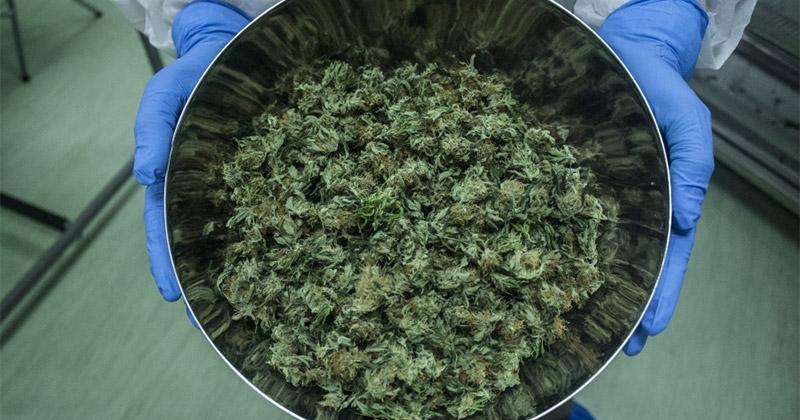 Récolte de cannabis médical en Italie